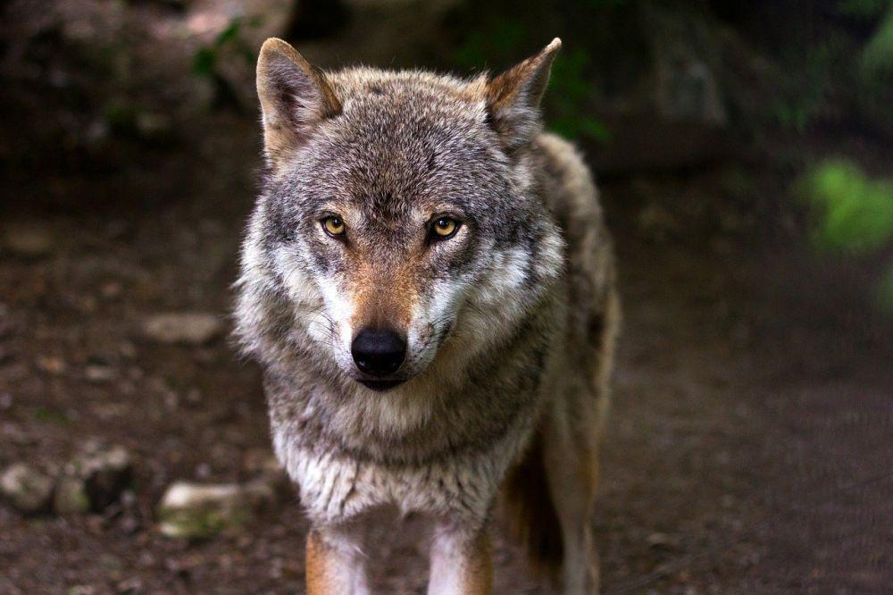 Wolf Steckbrief