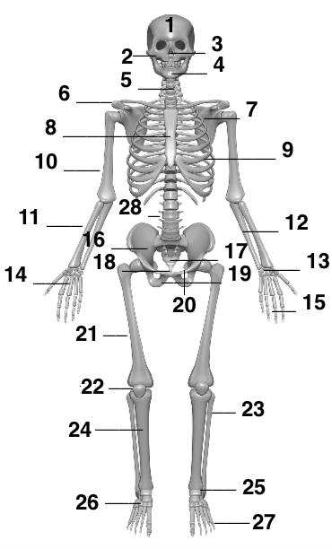 menschliches skelett beschriften. Black Bedroom Furniture Sets. Home Design Ideas